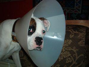 794px-Cone-head_Reni_-_dog_in_Elizabethan_collar
